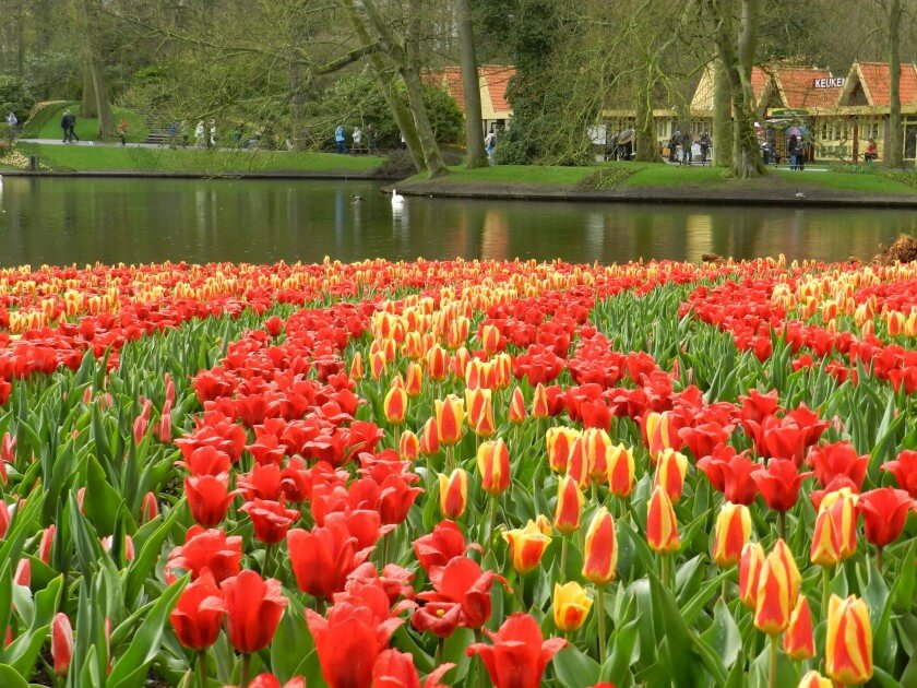 As famosas tulipas no Keukenhof