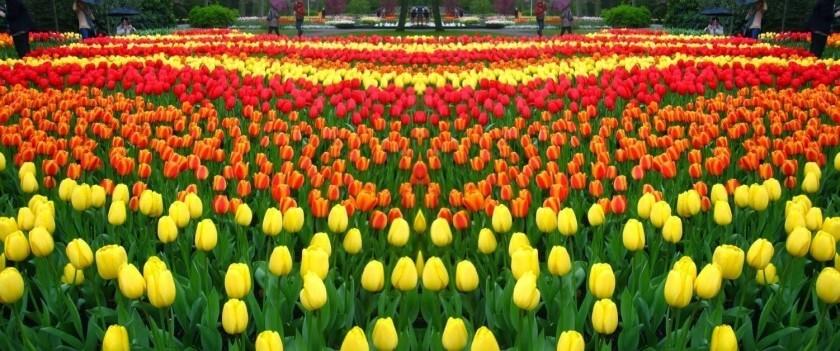 Efeito de tulipas